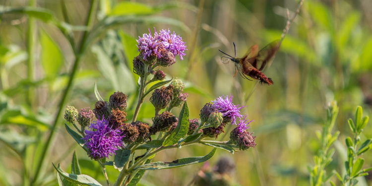 Flying Hummingbird Moth