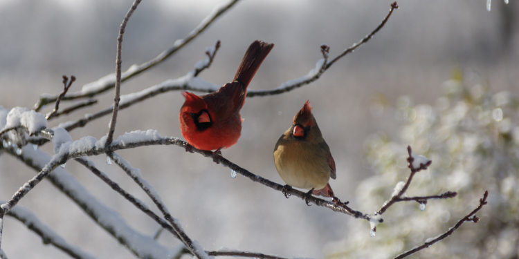 Winter Courting